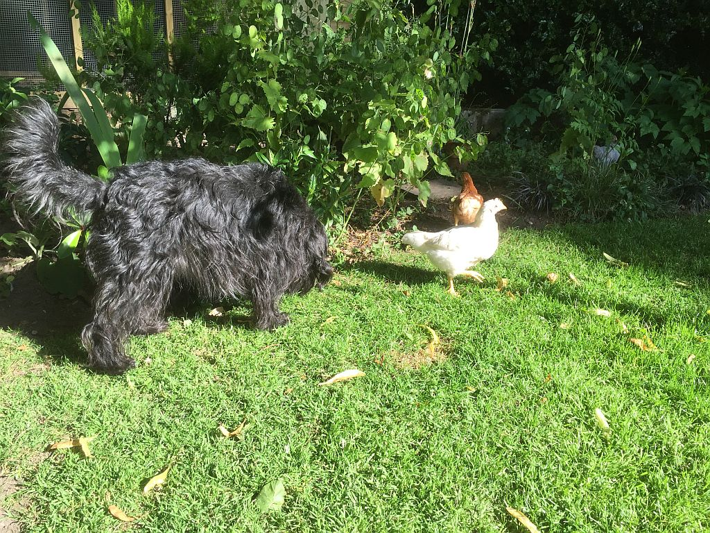 Coco in One Chicken's Blog at Cabelo in Limes Road, Tettenhall, Wolverhampton, WV6 8QZ